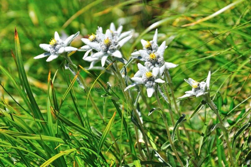 高山edelweiss花 免版税图库摄影