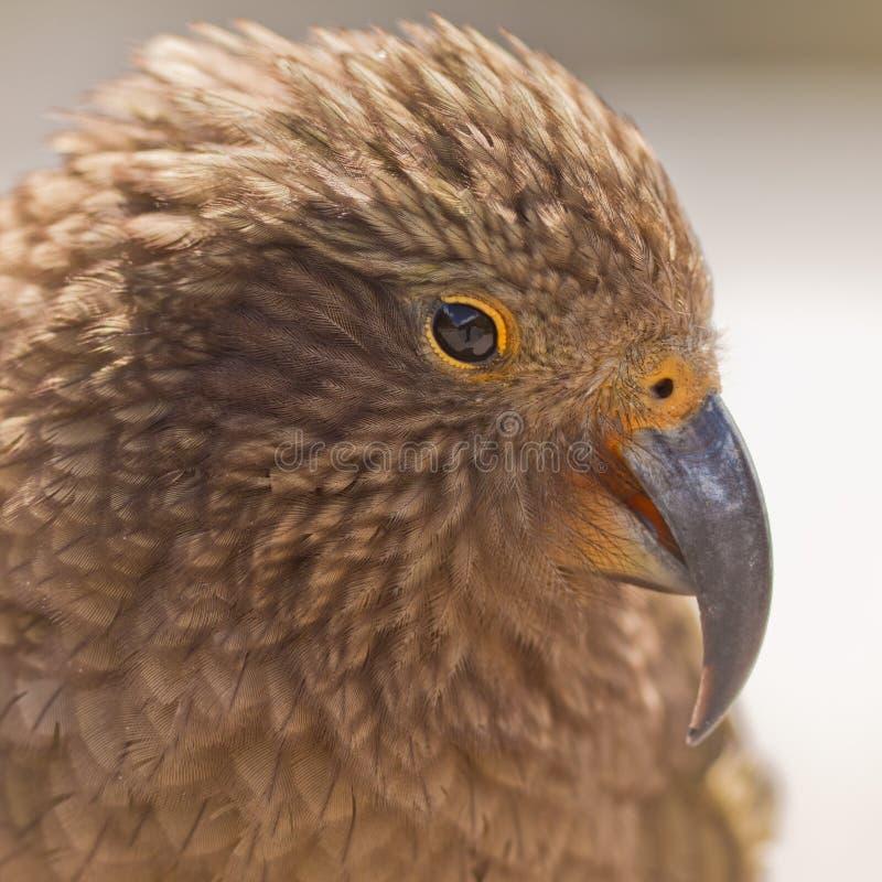 高山kea内斯特notabilis nz鹦鹉纵向 库存照片