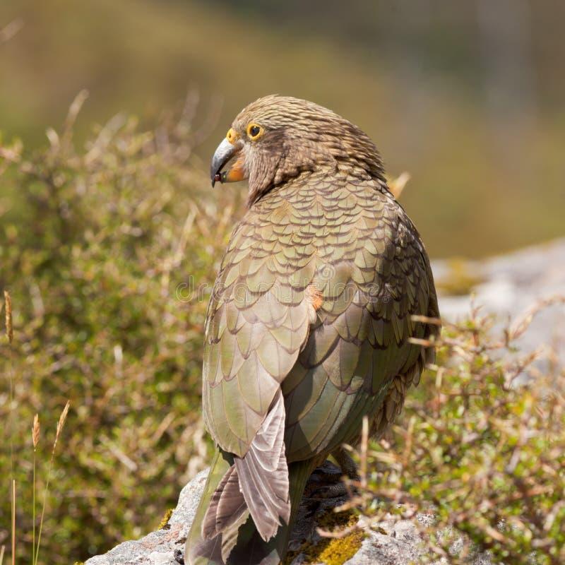 高山kea内斯特notabilis nz鹦鹉纵向 免版税库存图片