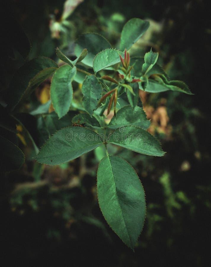 高度玫瑰色植物成为不饱和的绿色叶子  免版税库存照片