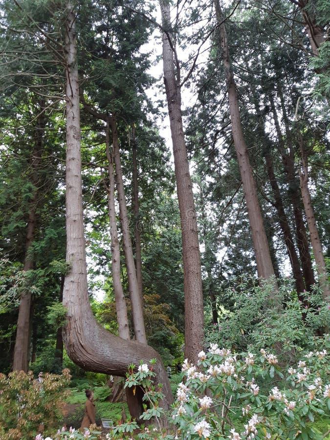 高弯曲的树 免版税库存图片