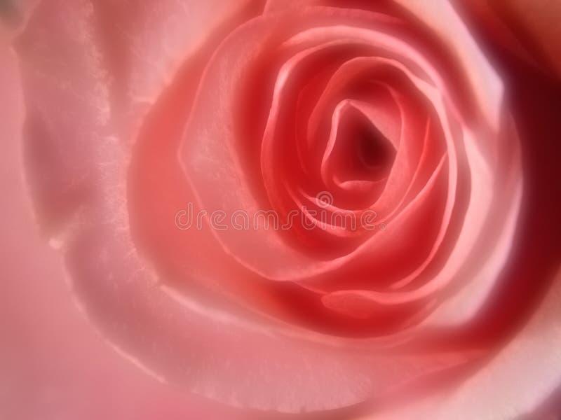高斯粉红色上升了 库存照片