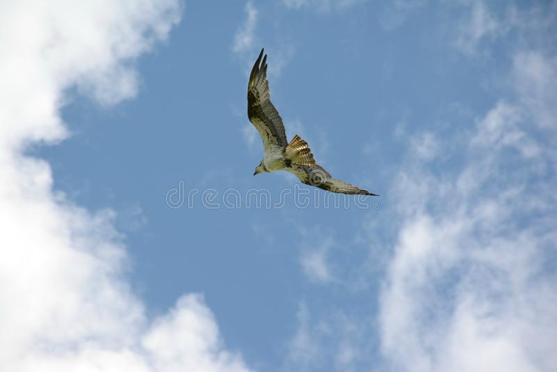高昂北白鹭的羽毛 图库摄影