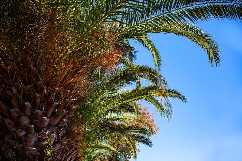 高棕榈树向上射击在天空蔚蓝下的 闪烁在树干附近的微小的LED光 缆绳导线垂悬的低落 图库摄影