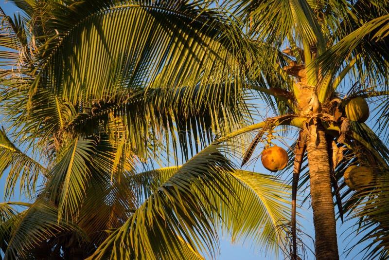 高棕榈树用在日落温暖的光的椰子反对天空蔚蓝 热带的本质 库存图片