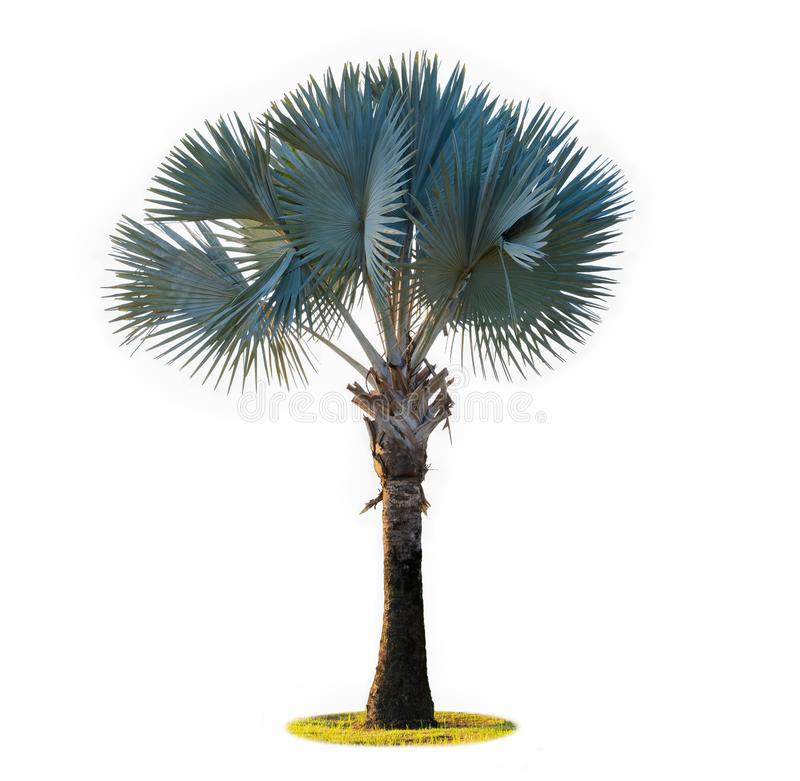 高棕榈树(Livistona Rotundifolia或扇形棕榈 )被隔绝的o 免版税库存图片