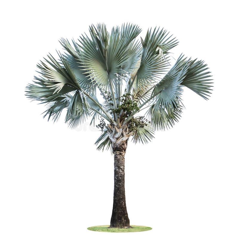 高棕榈树Livistona Rotundifolia或扇形棕榈用在白色背景隔绝的果子 图库摄影