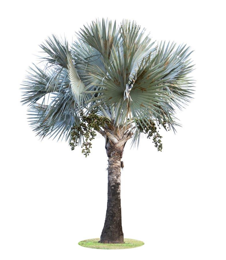 高棕榈树Livistona Rotundifolia或扇形棕榈用在白色背景隔绝的果子 库存图片