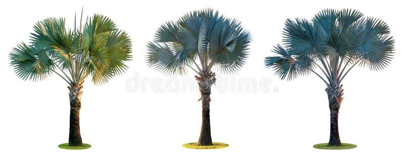 高棕榈树Livistona Rotundifolia或扇形棕榈 背景查出的白色 免版税库存照片