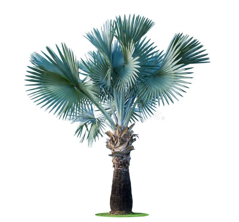 高棕榈树Livistona Rotundifolia或扇形棕榈 背景查出的白色 免版税库存图片