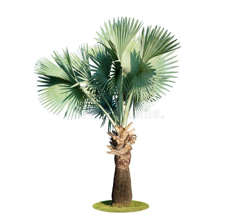 高棕榈树Livistona Rotundifolia或扇形棕榈 被隔绝的o 库存照片