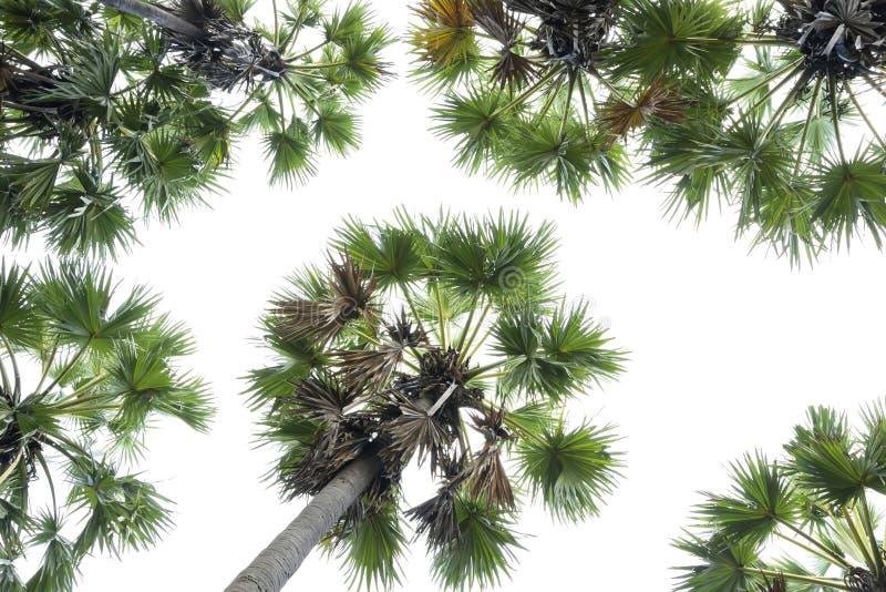 高棕榈树Livistona Rotundifolia或扇形棕榈 被隔绝的o 免版税库存图片
