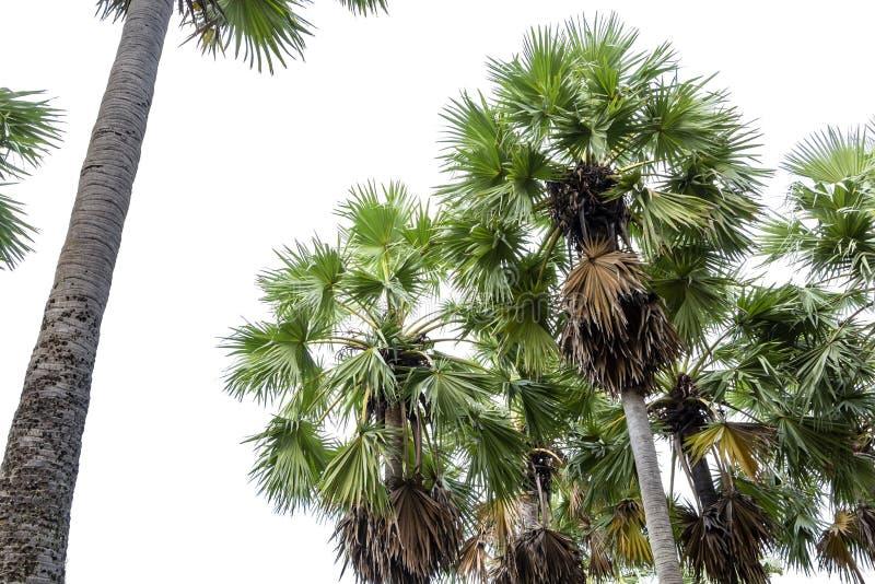 高棕榈树Livistona Rotundifolia或扇形棕榈 被隔绝的o 图库摄影