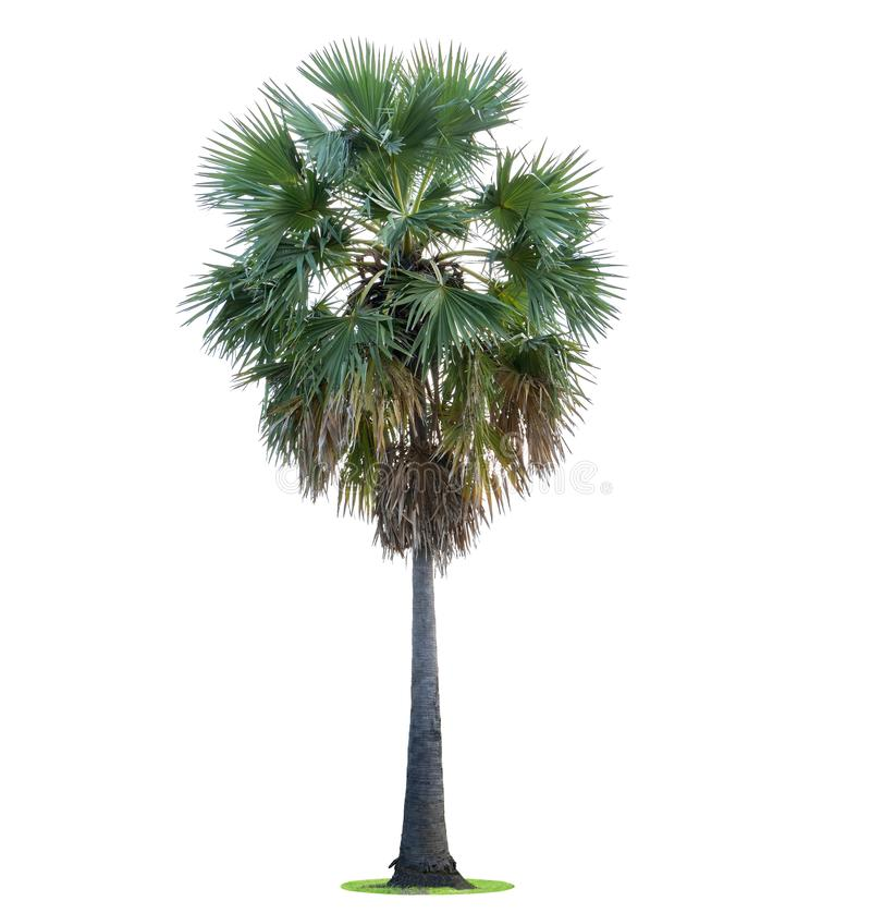 高棕榈树Livistona Rotundifolia或扇形棕榈 隔绝  免版税库存照片