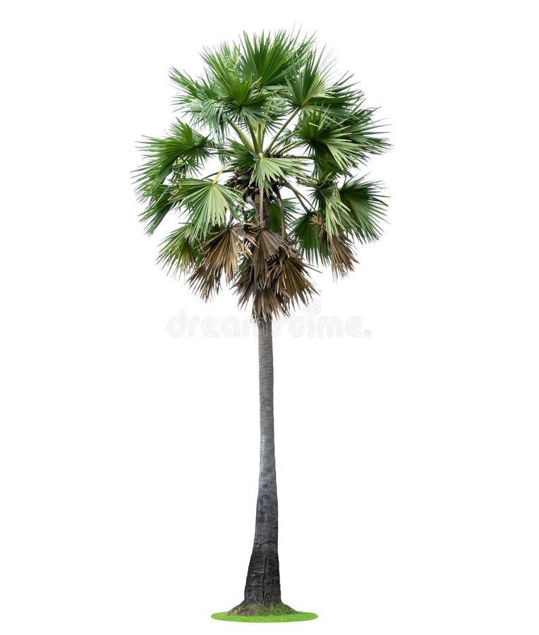 高棕榈树Livistona Rotundifolia或扇形棕榈 隔绝  库存照片