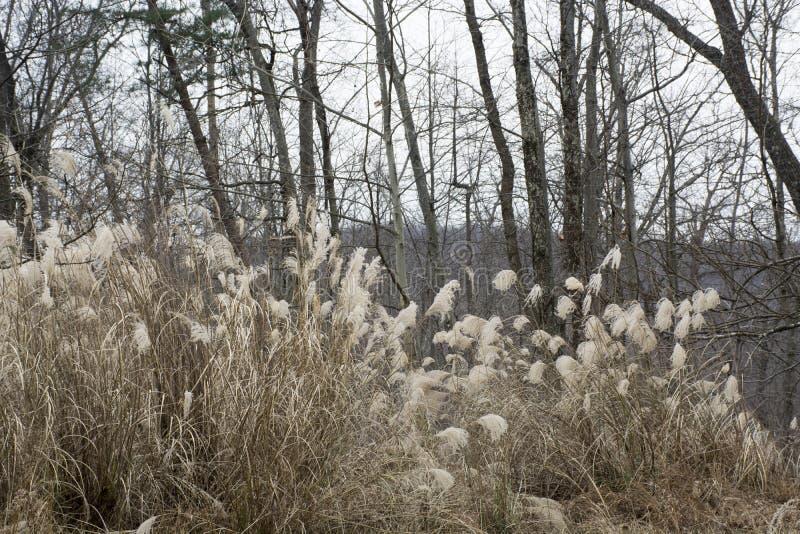 高棕色草在冬天 免版税库存图片