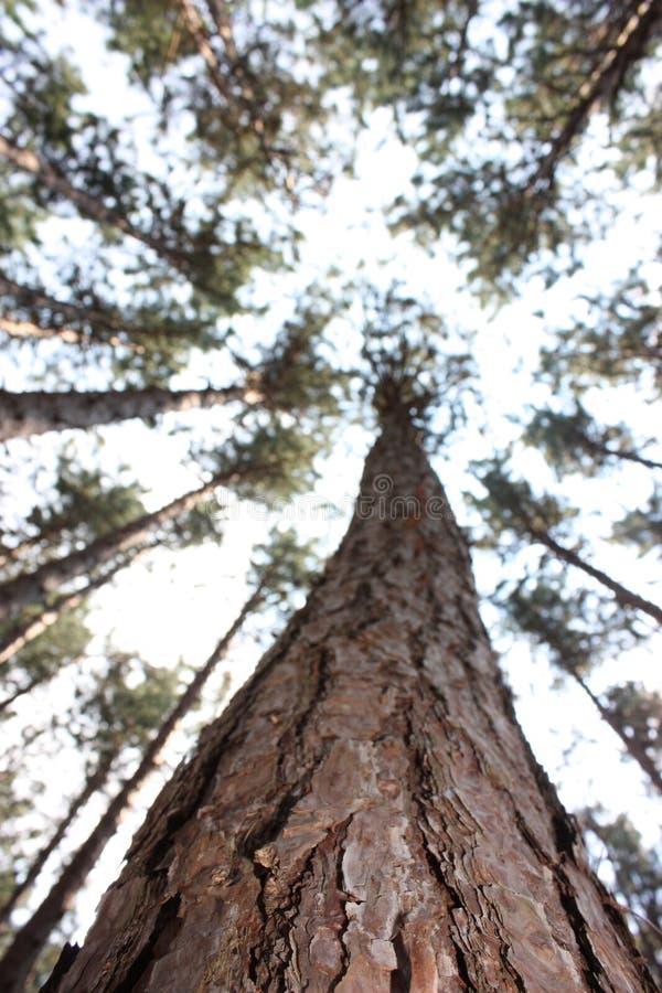 高的杉木 图库摄影