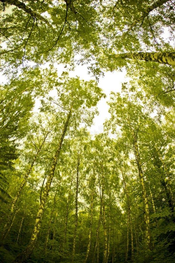 高的森林 免版税库存图片