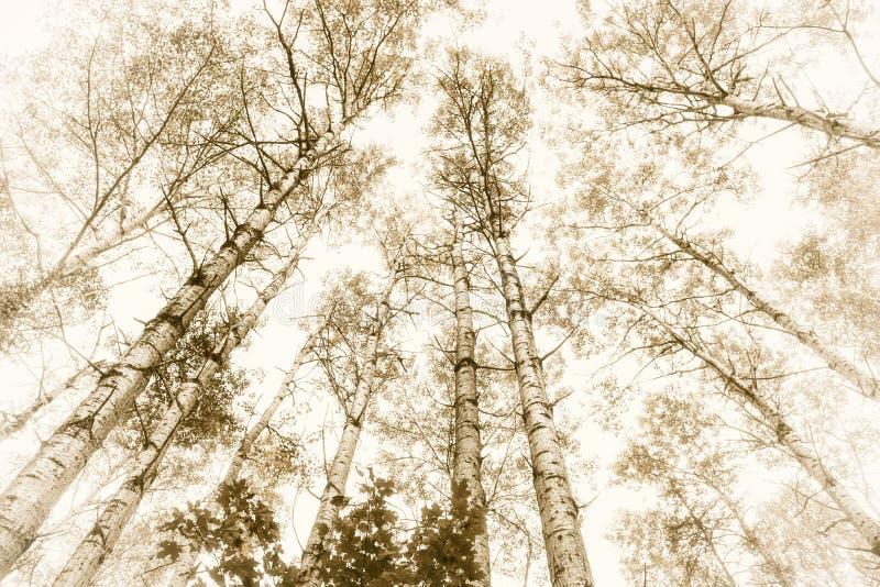 高的白杨木 图库摄影