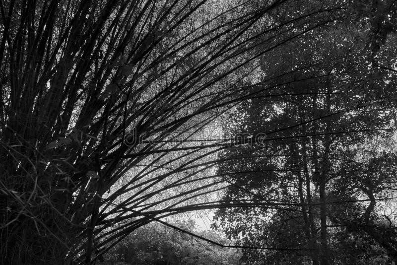 高竹树令人毛骨悚然的树丛在黑白的 库存照片