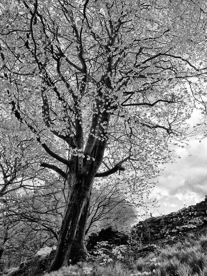 高老山毛榉树的单色图象在春天有明亮的生长在a的叶子与黑暗的树干形成对比和分支的 免版税图库摄影