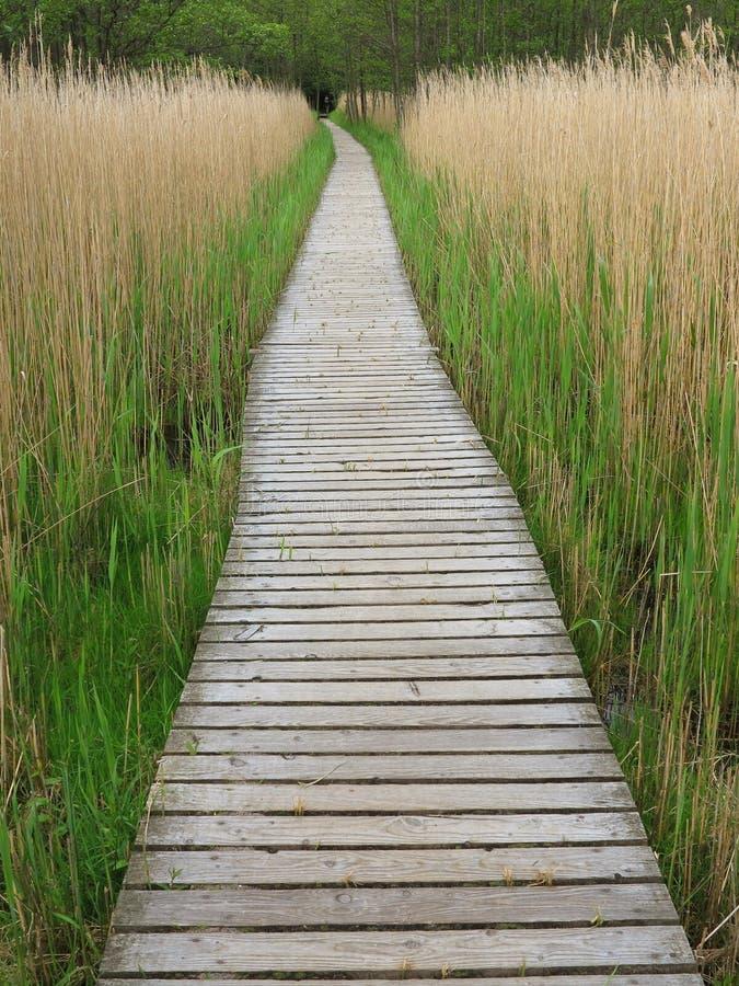 高芦苇的木木板走道 免版税库存图片