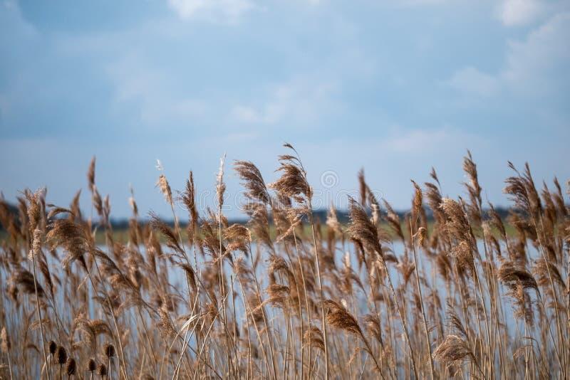 高草和用茅草盖看的摇摆在风在一个大湖旁边 免版税库存照片