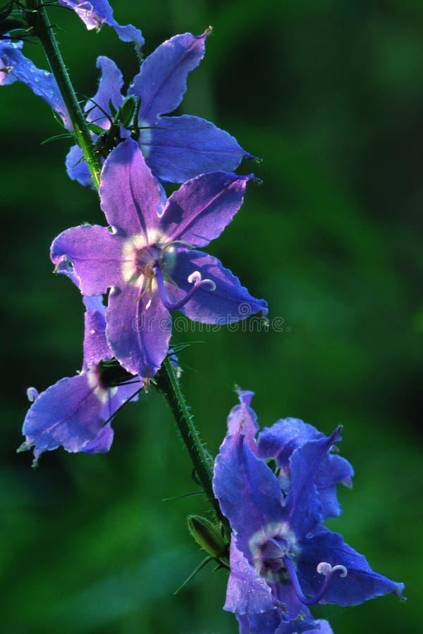 高蓝色风铃草在早晨光发光 免版税库存照片