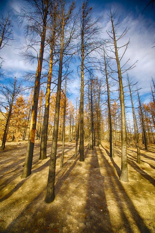 高被烧焦的杉树 库存照片