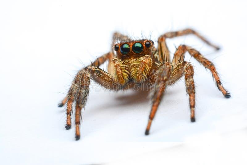 高跳的宏观放大照片蜘蛛 免版税库存照片