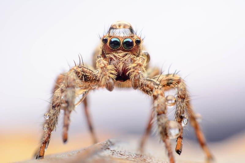 高跳的宏观放大照片蜘蛛 库存照片