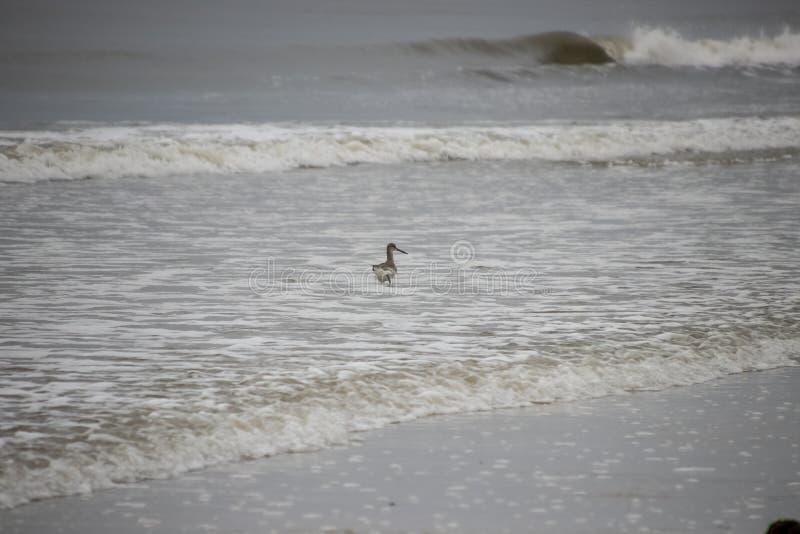 高跷矶鹞涉过在墨西哥湾中水域沿迈尔斯堡海滩,佛罗里达的 免版税图库摄影