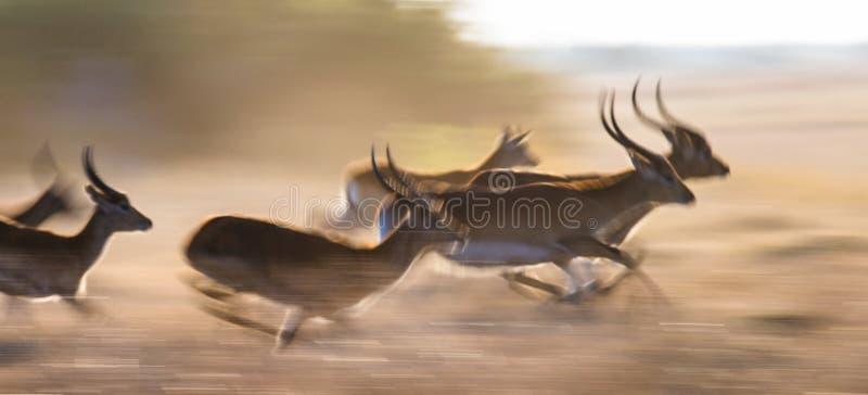 高速跑的羚羊 非常动态射击 博茨瓦纳 Okavango Delta 库存照片
