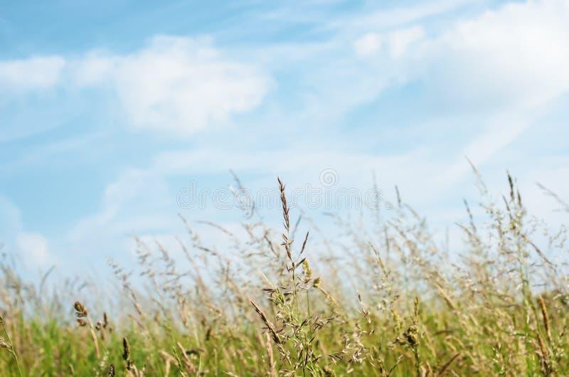 高野草在明亮的蓝天下在夏天 免版税图库摄影