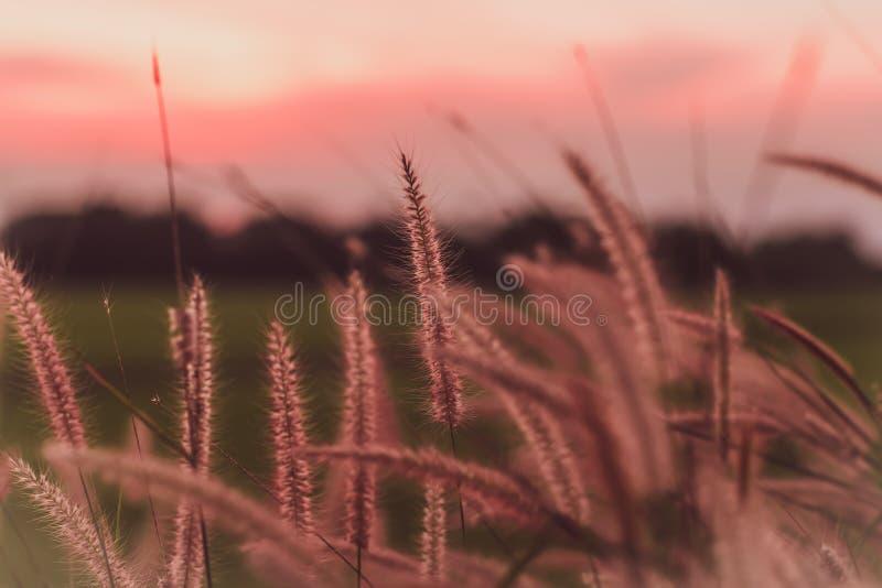 高野草自然背景的领域在美好的日落日出的 免版税库存图片