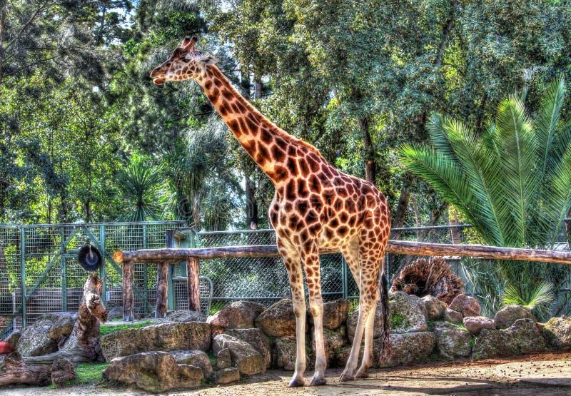 高非洲长颈鹿 免版税库存图片