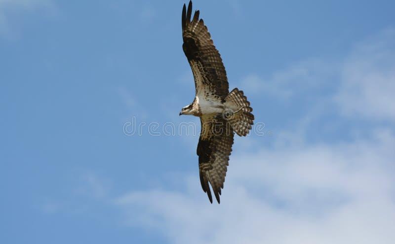 高高昂白鹭的羽毛 免版税库存图片