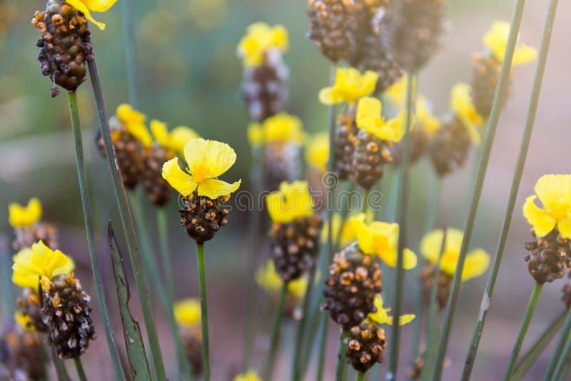 高黄色目的草flowerXyris印度L 免版税图库摄影