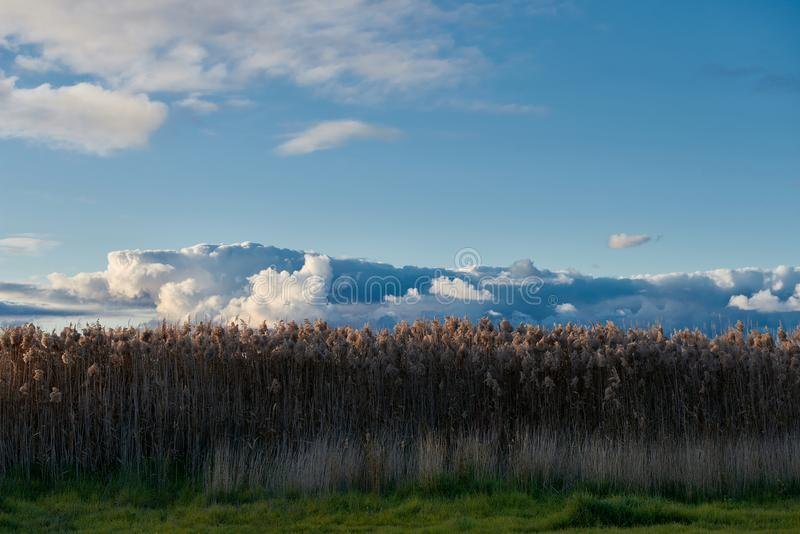 高黄色草在剧烈的蓝天下 库存照片