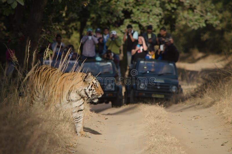 高兴游人手表作为男性孟加拉老虎从灌木涌现 免版税库存图片