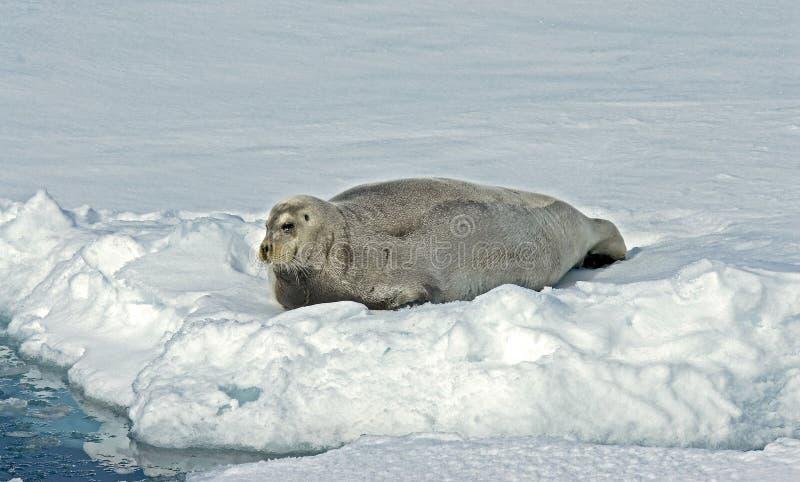 髯海豹, Baardrob,有须海豹barbatus 库存照片