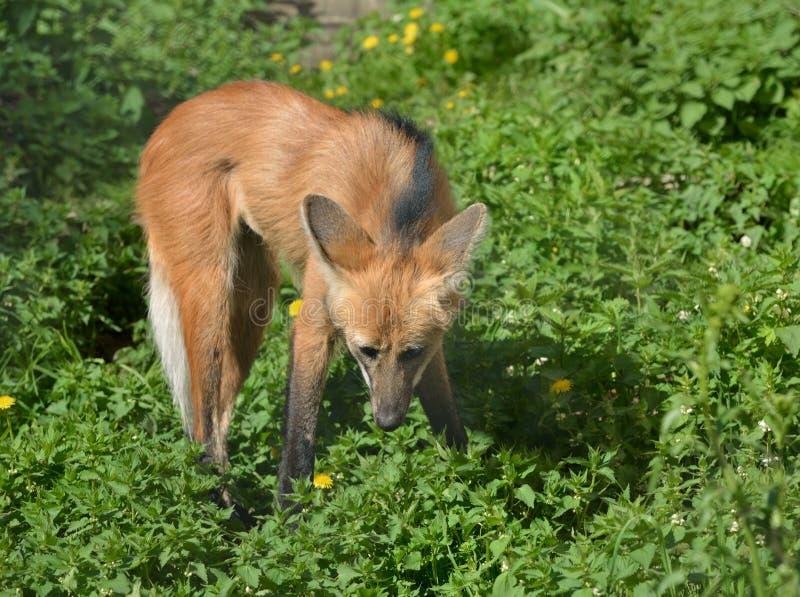 鬃狼Chrysocyon brachyurus,它具有较小相似性对镍耐热铜 图库摄影