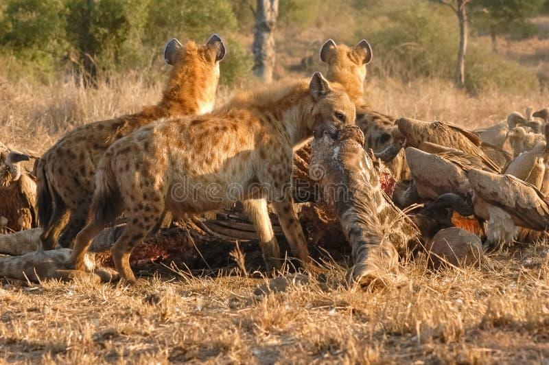 鬣狗吃一头长颈鹿,克留格尔国家公园,南非 免版税库存照片