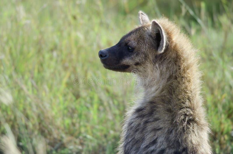 鬣狗国家公园serengeti 库存图片