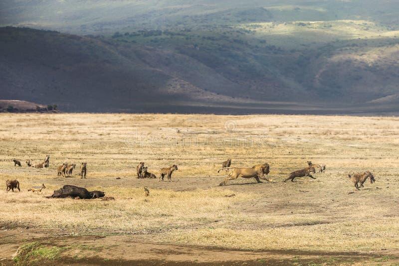 鬣狗对狮子 库存照片