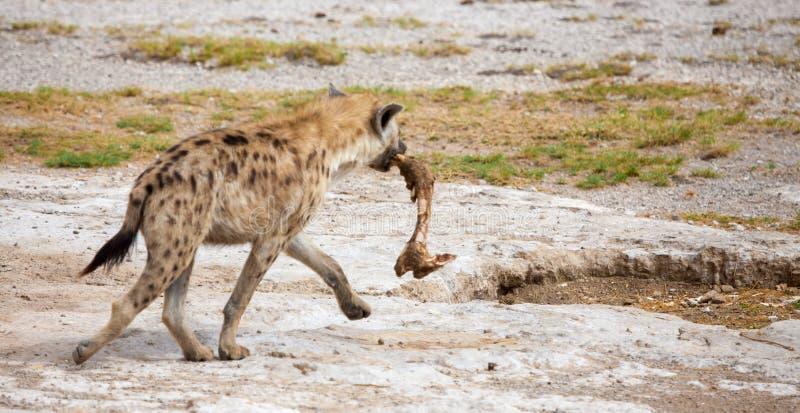 鬣狗跑与斑马的腿 免版税库存图片