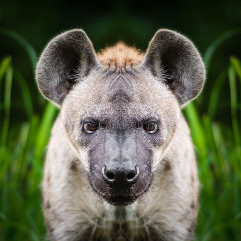 鬣狗面孔关闭 图库摄影