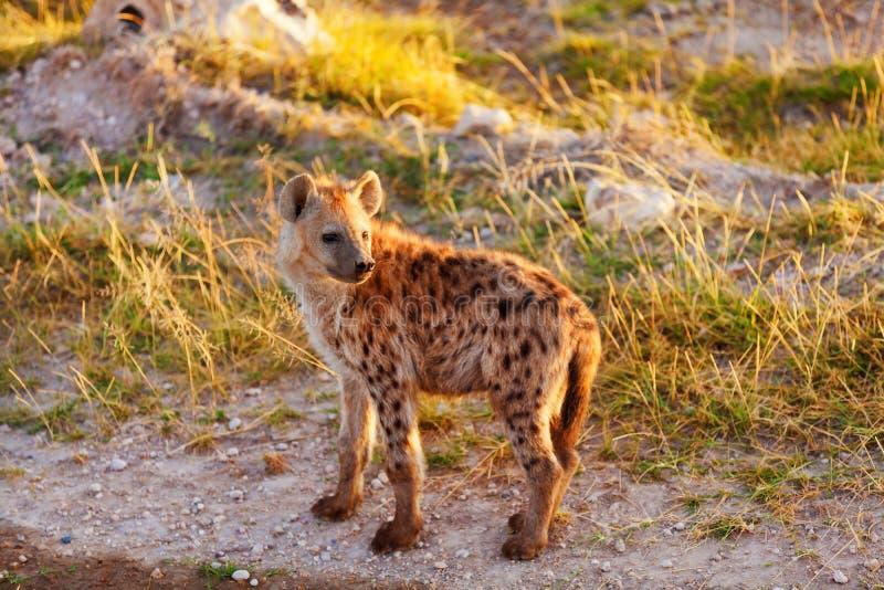 鬣狗,马塞语玛拉 库存图片