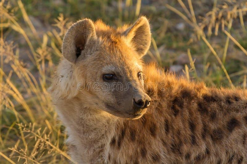 鬣狗,马塞语玛拉 免版税库存图片