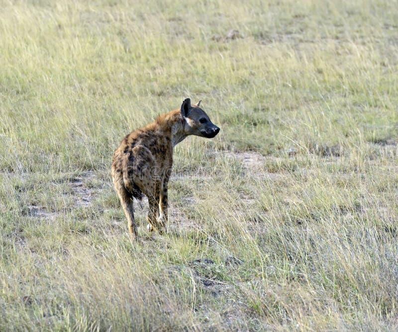 鬣狗 库存照片